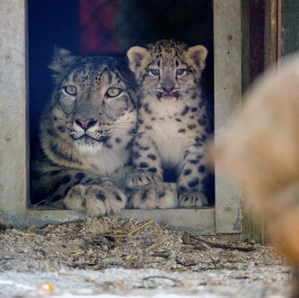 The snow leopard cubs made their debut to the public Aug. 27. Check them out during the long weekend.