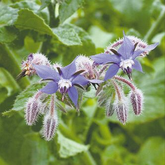 The cucumber-flavoured leaves and pretty true-blue flowers of borage are delicious in salads or summer drinks. Add chopped young leaves and flowers to salads or cool off with iced borage tea with a bit of honey and lemon juice.