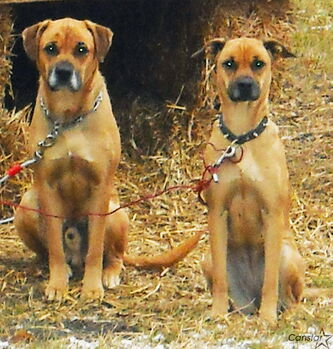 Boxer-shepherd mixes Max (left) and Sasha, missing since last December, are believed to have been recently sighted in St. Francois Xavier.