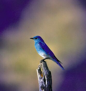 A mountain bluebird, shot by Linda Boys, a member of the Brandon Friends of Bluebirds.
