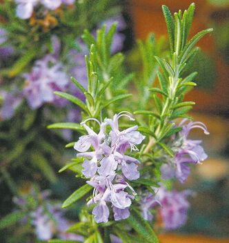 Rosemary's blue flowers and needle-like leaves add interest to the garden and delicious flavour to foods.