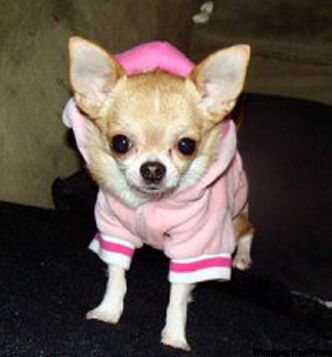 Hildy the Chihuahua is the alpha dog on a Facebook group Canadian Chihuahuas Against Proroguing.