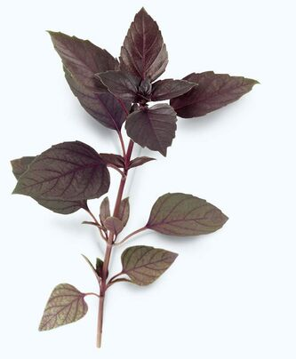 Bring plants indoors, take cuttings from the garden, or start your herbs from seeds. The purple leaves of Rubin basil add colour and fresh, spicy flavouring to salads.
