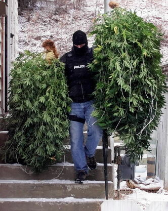 Calgary police officer carries two massive marijuana plants from hydroponic operation.