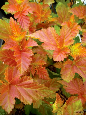 The Amber Jubilee Ninebark Shrub displays its colourful foliage.