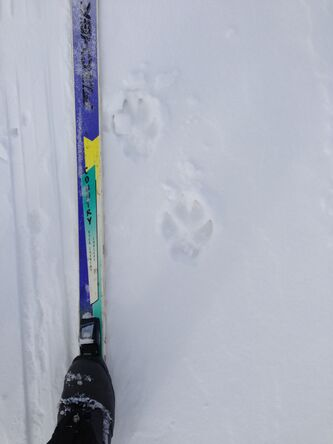 A wolf's tracks in the snow