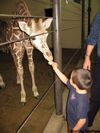 James feeds a giraffe at Como Park Zoo and Conservatory.