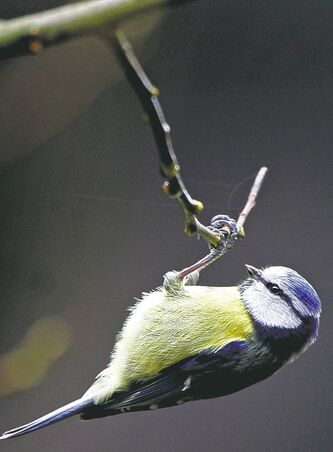 Even though great tits are monogamous, 13 per cent of their chicks are the result of extra-pair mating.