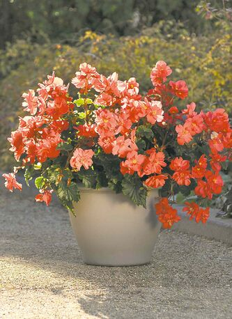 New for 2014, the voluptuous cherry-red blooms of this vigorous Rieger begonia feature a yellow center. An upright plant with a mounding shape, Fire Balls is destined to become a favourite begonia. Grow in part-shade.