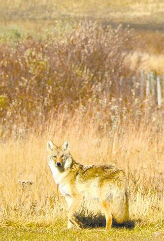 Coyote hunting is gaining popularity in Manitoba.