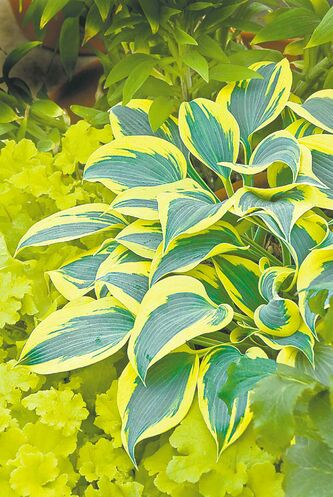 Variegated blue and yellow hostas provide striking contrast in the garden. The yellow margins of Autumn Frost, a sport of First Frost, 2010 Hosta of the Year, turn creamy white towards the end of the season.