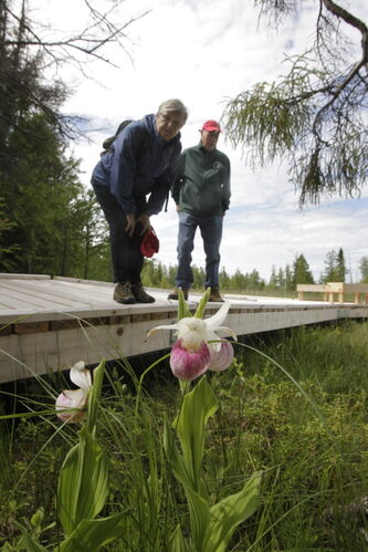 At left, Peggy Bainard Acheson, president and Richard Reeves both with the Native Orchid Conservation Inc. by showy lady's slippers ( orchid) while on a tour of  the Brokenhead Wetland, at the corner of Highways 59 and 304. A boardwalk was recently built to allow greater public access. However, the trail has not been officially opened yet.