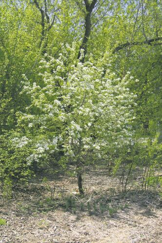 Looking for a small flowering tree that will be covered in masses of white flowers in mid-May? Consider hardy Pincherry, a native plant that produces delicious berries -- perfect for birds and jelly, too. Plays host to caterpillars of Spring Azure and Black Swallowtail butterflies.