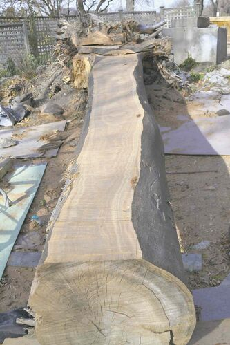 First chain saw cut reveals the beautiful figure of an elm tree that will be sawn into lumber to build a dining-room table for the Wellington Crescent renovation.