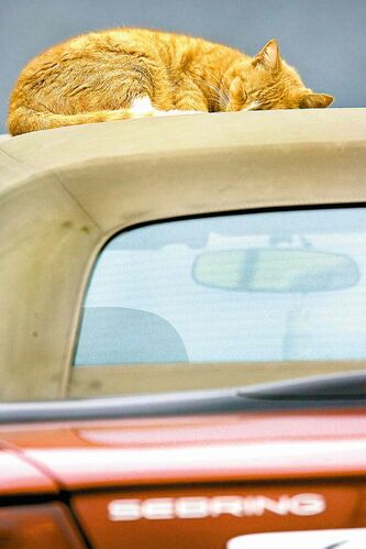 Timmy takes a catnap on the top of his owner's convertible. Research and some famous people have shown humans benefit from naps, too.