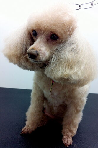 Poodles are one example of a hypoallergenic dog breed. Others include bichons and soft-coated wheaten terriers.