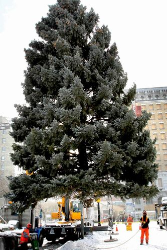 Workers place a Colorado blue spruce tree in position in front of Winnipeg City Hall during a previous holiday season. The city's public works department is reaching out to homeowners to see if anyone may be interested in donating a tree to city hall's annual Christmas tree display.