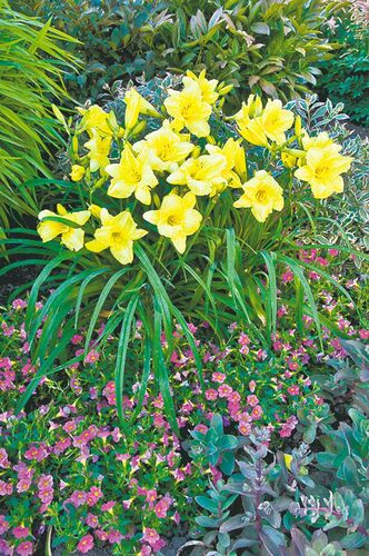 Go bananas for daylilies. Great value since they are virtually pest and maintenance free and bloom all summer long. There are varieties of Hemerocallis for every taste. New for 2013 is Going Bananas. Canary yellow flowers add a vibrant touch to this colourful combination of Calibrachoa, Garnet Brocade Sedum and My Monet Weigela.