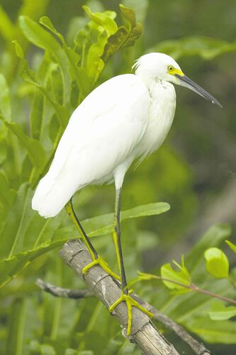 A Cattle egret (Bubuculus ibis) stands on a mangrove branche in the Black River.