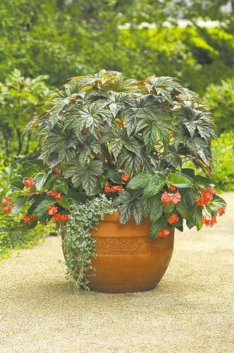 Plant tropical-looking Gryphon begonia for its fantastic dark green foliage with silvery tones. Shown: Gryphon is paired with the arching stems and crimson blooms of Dragon Wing Begonia and underplanted with Emerald Falls Dichondra. Both thrive in a part -sun or part-shade location.
