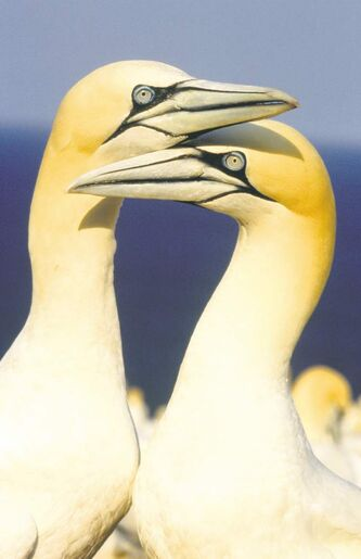 Northern gannets nuzzle on Bonaventure Island.