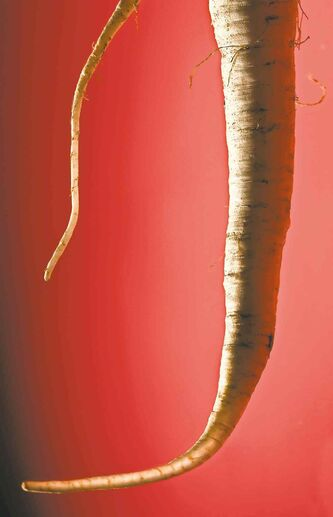 Parsley root looks like a parsnip but has a crisp parsley taste. (Bill Hogan/Chicago Tribune/MCT)