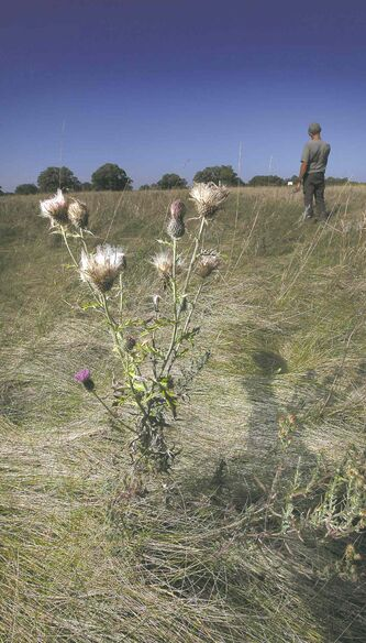 A thistle pokes out of the prairie at the Linear Mounds. Dakota elders resist the idea of tourism at the national historic site.