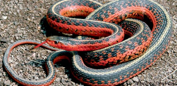 University of Manitoba graduate student Jonathan Wiens speculates that the red garters' colour may help ward off potential predators.