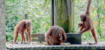 Daily feedings of fruit attract young orangutans at the Sepilok Orangutan Rehabilitation Centre, Malaysian Borneo.