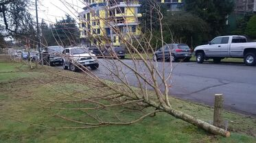One of 17 maple trees cut down in the middle of the night in Vancouver by an unknown suspect is shown in a Jan.7, 2015 handout photo. A Vancouver park board official says the board will seek the maximum penalty if police manage to root out the person who chopping down 17 maple trees in a quiet residential neighbourhood. THE CANADIAN PRESS/HO-Vancouver Park Board
