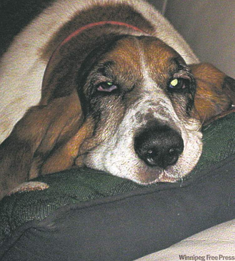 Sky came to us at age three after having six puppies, and happens to be a relative of Doug Speirs' Basset, Cooper. Sky is a big goof. Of course, most Bassets are goofs. Owners of this breed must possess a sense of humour. — Laurie Magorel, Winnipeg
