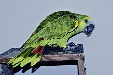 The responsibility of having a parrot as a pet - Winnipeg