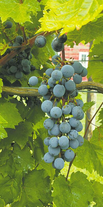 Hardy varieties of grapes, suitable for wine making or eating fresh, can flourish in your garden. Protect from early spring frosts by covering the plants with black plastic or blankets to hold in warmth.