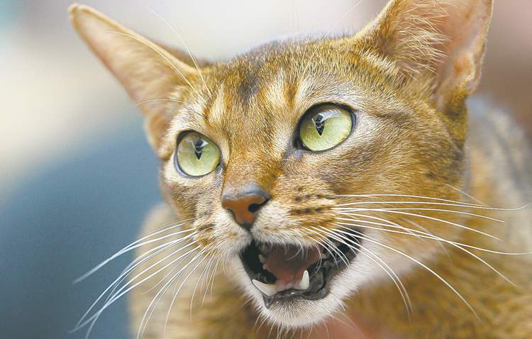 Mindaugas Kulbis / The Associated PressHouse cats kill millions of songbirds in Canada every year.