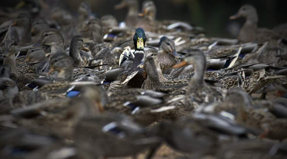 A male mallard stands out in a flock of feeding ducks at Kildonan Park. October 10, 2011