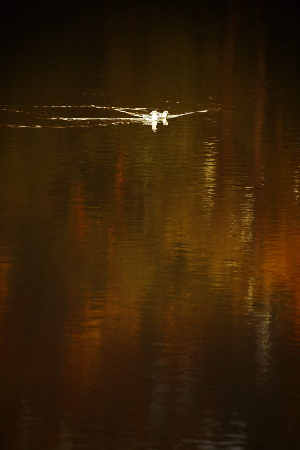 A couple of gulls go for a paddle as autumn colours reflect in the Red River in north Winnipeg., September 22, 2011