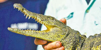 This baby Nile crocodile was captured near Homestead, Fla. Unlike the American crocodile, these beasts are highly aggressive man-eaters.