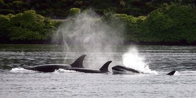 Orca whales come out of the water at Lions Park in Bremerton, Wash. after visiting Dyes Inlet on Thursday, June 5, 2013 in Bremerton, Wash. (AP Photo/Kitsap Sun, Larry Steagall)