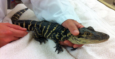 An alligator can grow up to 15 feet or more and weigh as much as 1,000 pounds.