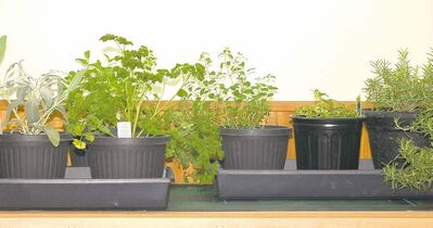 Herbs require at least four to five hours of direct sunlight each day. Annual herbs generally only thrive under full spectrum lights. For example, Genovese basil needs a grow light but African blue basil will do well on a window sill.