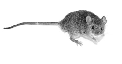 UNDATED -- Domestic mouse. HANDOUT PHOTO.       For Randy Boswell (Postmedia News) VIKING-MICE