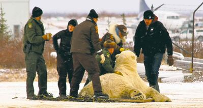 Conservation officers prepare to cart the tranquillized polar bear, guilty of several break-ins, to the Churchill holding facility.