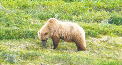 If you come across a grizzly, stand your ground and look big, staff said.