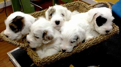 A basket full of purebred Sealyham Terriers.