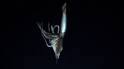 In this image made from video recorded in the summer of 2012, provided by NHK and Discovery Channel, a giant squid takes bait in the deep sea off Chichi island, Japan. (AP Photo/ NHK/NEP/Discovery Channel ) EDITORIAL USE ONLY, MANDATORY CREDIT