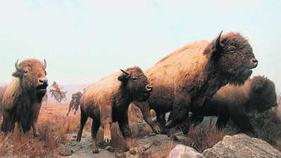 The buffalo hunt exhibit at the Manitoba Museum is one of the most recognizable symbols of the province's past. Manitoba's birthday is celebrated every years on May 12.