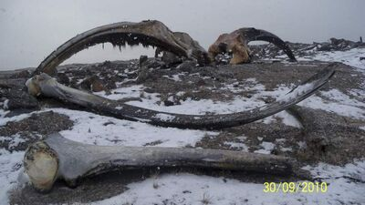 The remains of bowhead whale on shore in 2010 near Repulse Bay, Nunavut.