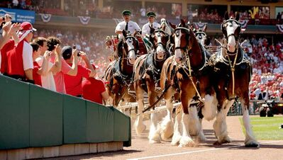 The Budweiser Clydesdales make their way around the field before the start of the St. Louis Cardinals home opener baseball game against the Houston Astros Monday, April 12, 2010, in St. Louis. The St. Louis Post-Dispatch reported Monday that Anheuser-Busch has quietly begun charging $2,000-per-day for most Clydesdale appearances, ending the brewery's long practice of absorbing nearly all of the cost of showcasing the iconic horses. (AP Photo/Jeff Roberson)
