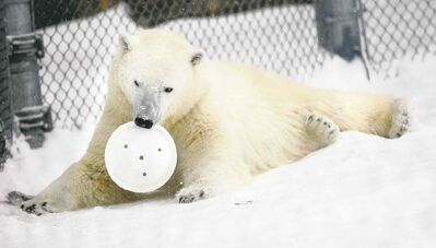 Hudson plays at the  Assiniboine Zoo earlier this winter. A few hundred volunteers are needed there, with the opening of the Journey to Churchill polar bear and northern species exhibit scheduled in June.