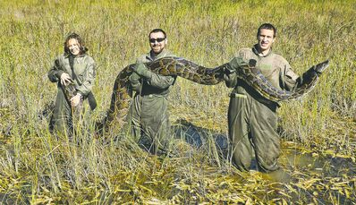 Florida is being overrun by creatures that shouldn't be there, such as this Burmese python. Invasive species cost the state half a billion dollars a year.